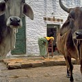Holy Cow in India